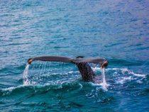 Norwegischer Fischminister will Wale essen, nicht über sie reden